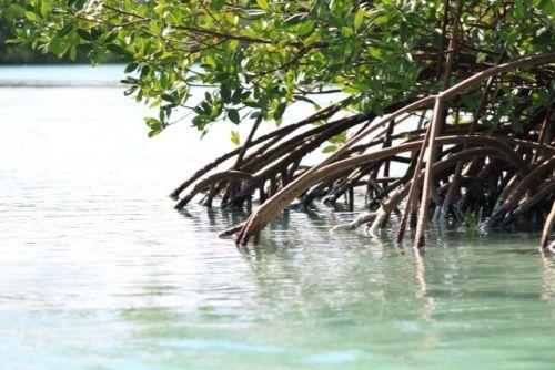 Bareboatzeilen Caraiben Cuba - Mangrovebos